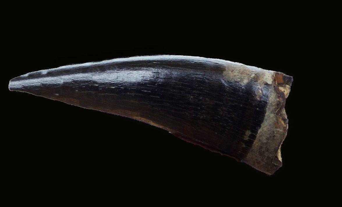 5fb63b4d85fc8_MetriorhynchusbrachyrhynchustoothMarnesdeDivesVillerssurMer02.jpg.2529856d08b3a11d2a648c66c386c50a.jpg