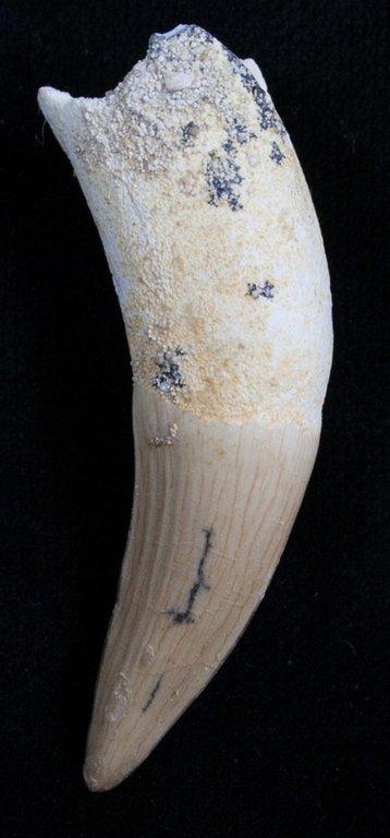 5fb6515c8df50_dyrosaurus-phosphaticus(striated).thumb.jpg.0f2ac56661973e067e3f226163ae932b.jpg