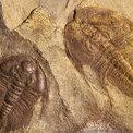 FossilBaron