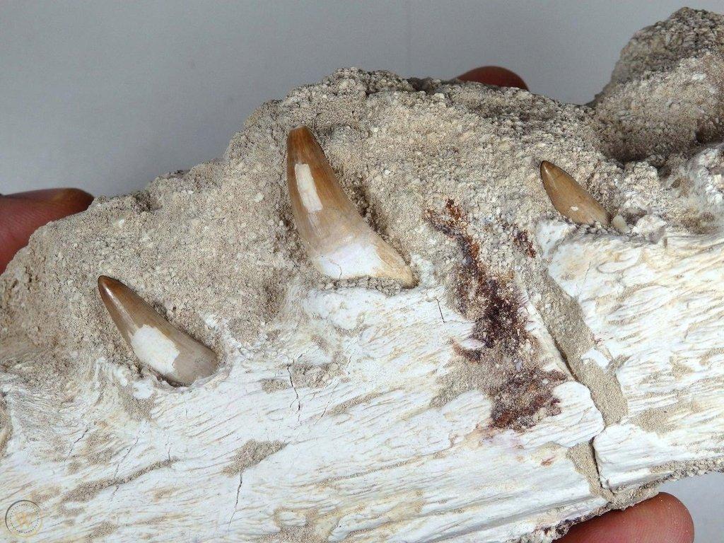 jaw-dyrosaurus-phosphaticus-89_1_f9e7f3c6598c9742ceea029a39a90b2e.thumb.jpg.40df9070daabaccd29680fdd8626b80d.jpg