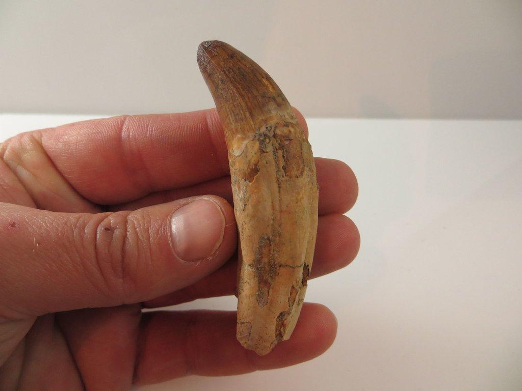 large-elosuchus-croc-tooth-rooted-313-p.thumb.jpg.28af36b538d8b738698706339c4aa8f3.jpg