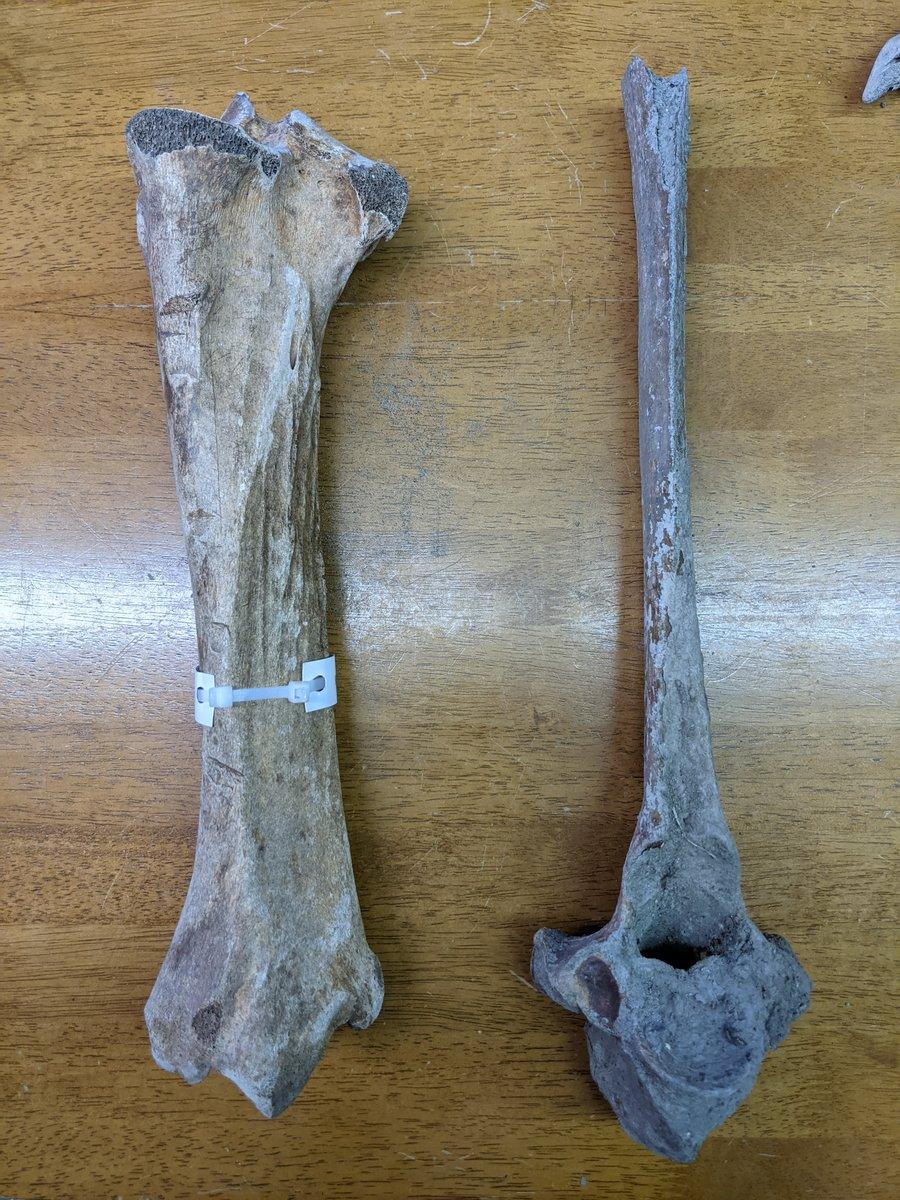 Horse Tibia and Bovid Vertebrae