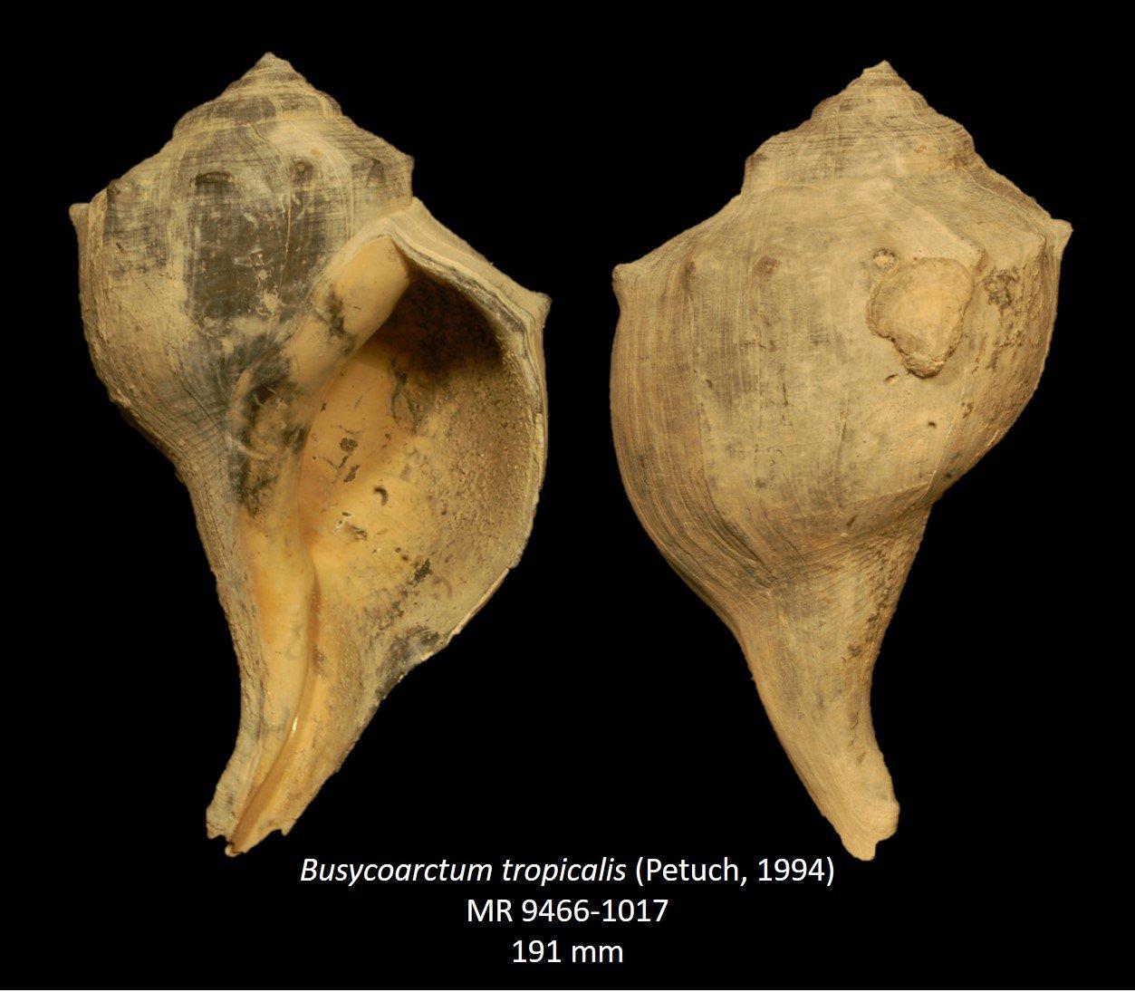Busycoarctumtropicalis