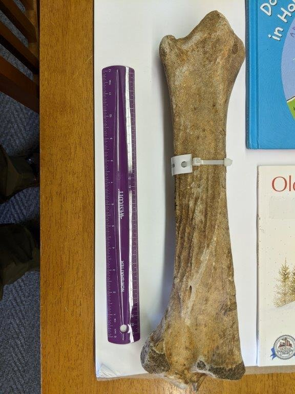 Horse Tibia With Cut Marks