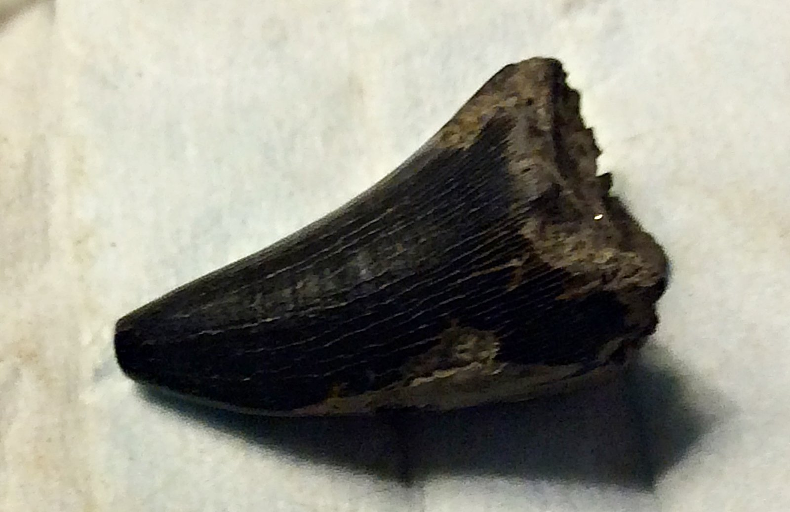 Mosasaur Tooth from Big Brook, N.J.