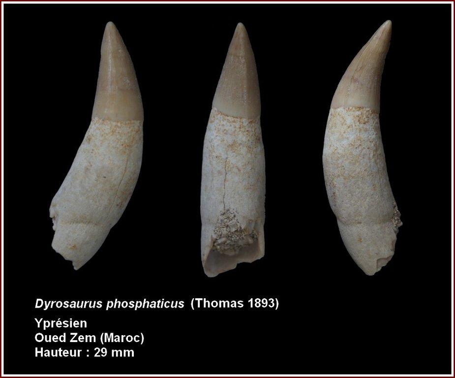 pl_dyrosaurus_phosphaticus.thumb.jpg.78fd16998cccad46e7c0c8f572a6749f.jpg
