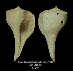 Pyruellarugosicostata