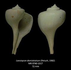 Laeviscyon demistriatum