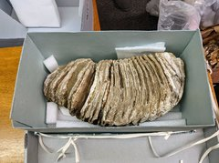 Mammoth Tooth Discovered in Early 1900s