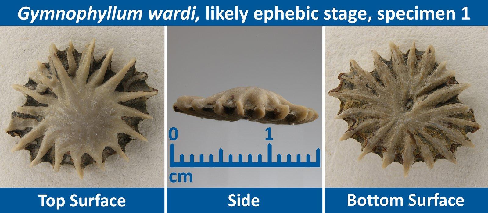 03 Gymnophyllum wardi Ephebic Specimen 01.jpg