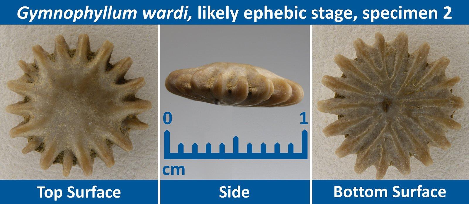 04 Gymnophyllum wardi Ephebic Specimen 02.jpg