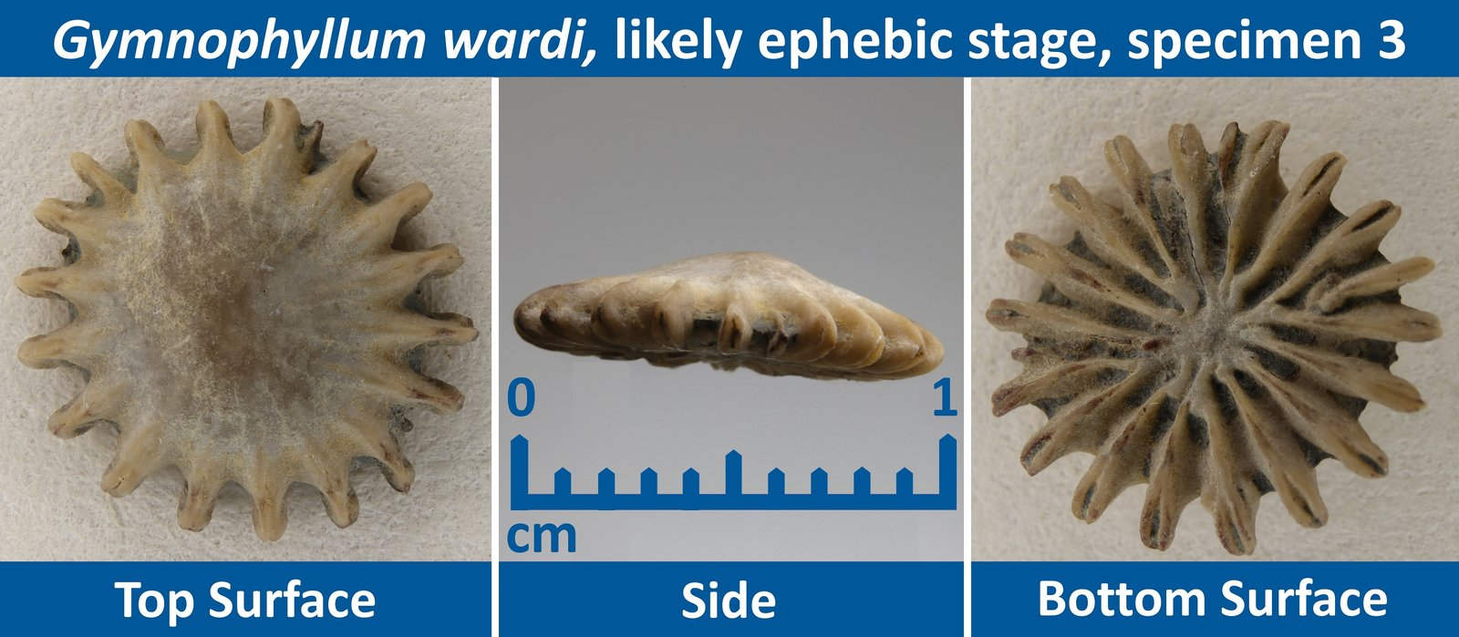 05 Gymnophyllum wardi Ephebic Specimen 03.jpg