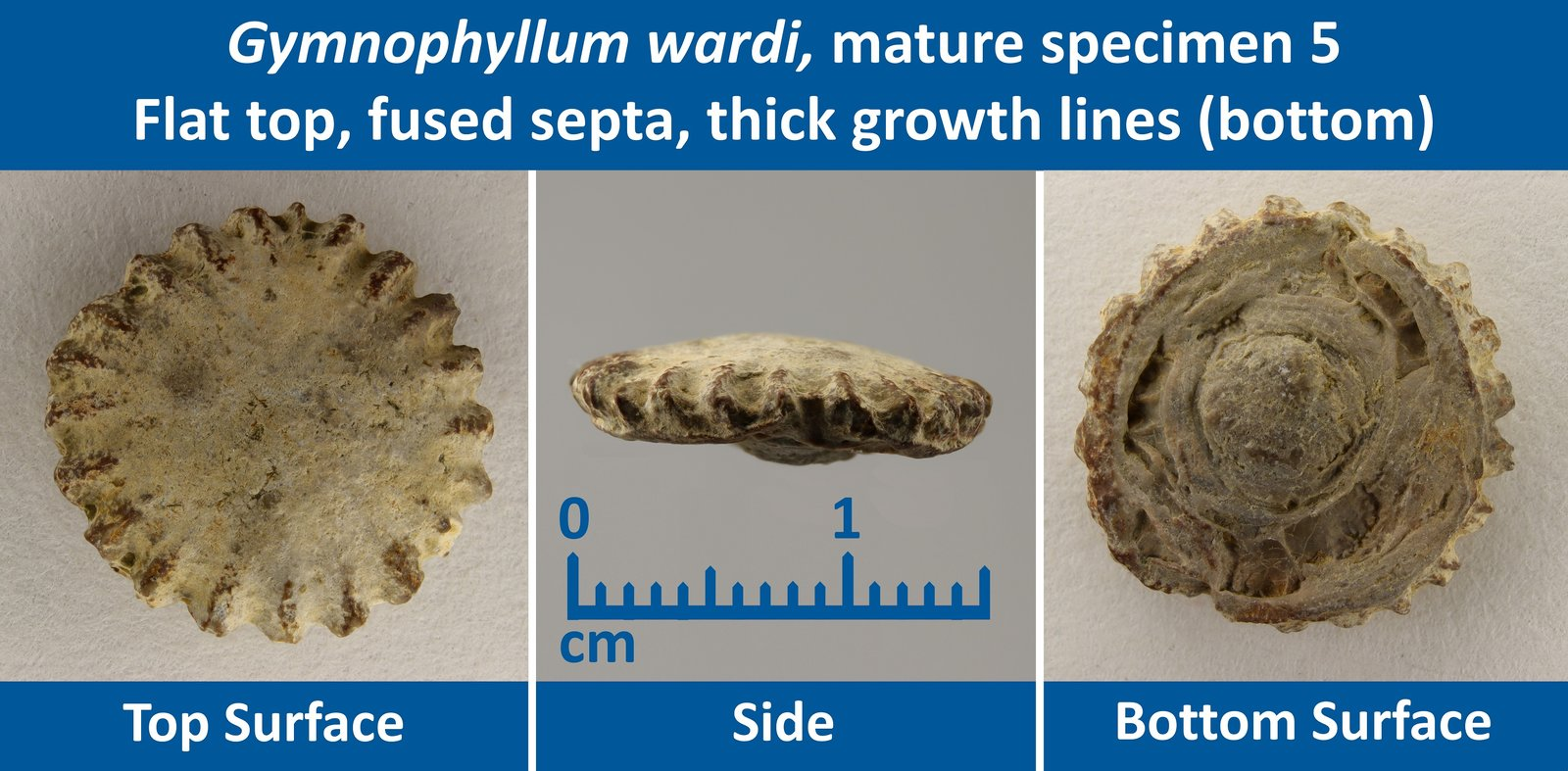 10 Gymnophyllum wardi Mature Specimen 05 Flat top, Fused Septae, Thick growth lines