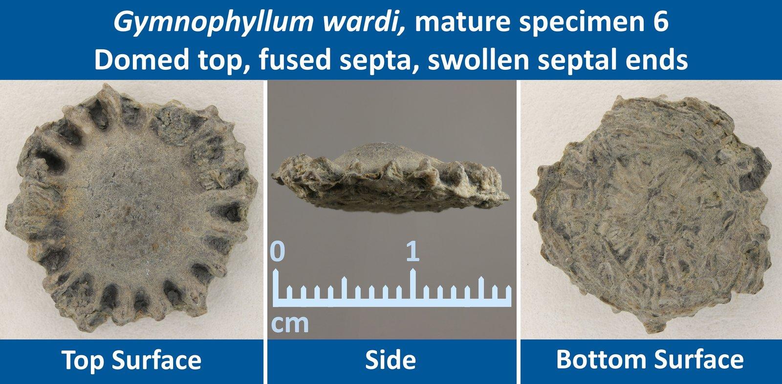 11 Gymnophyllum wardi Mature Specimen 06 Domed top, Fused septa, Swollen septal ends