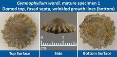 06 Gymnophyllum wardi Mature Specimen 01 Domed top, Fused Septa.jpg