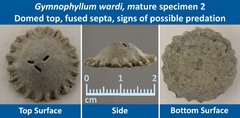 07 Gymnophyllum wardi Mature Specimen 02 Domed top, Fused septa, Predation Damage.jpg
