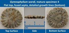 09 Gymnophyllum wardi Mature Specimen 04 Flat top, Fused Septae, detailed growth lines