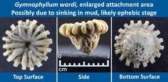 13 Gymnophyllum wardi Peculiar 08 Enlarged attachment area