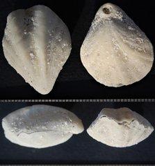 Diedrothyris johnstoniana (Tate, 1880)Middle Miocene.Batesford Limestone.'Batesford Lime' limestone quarry.Batesford. Victoria.Australia