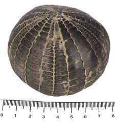 Echinocorys edhemi