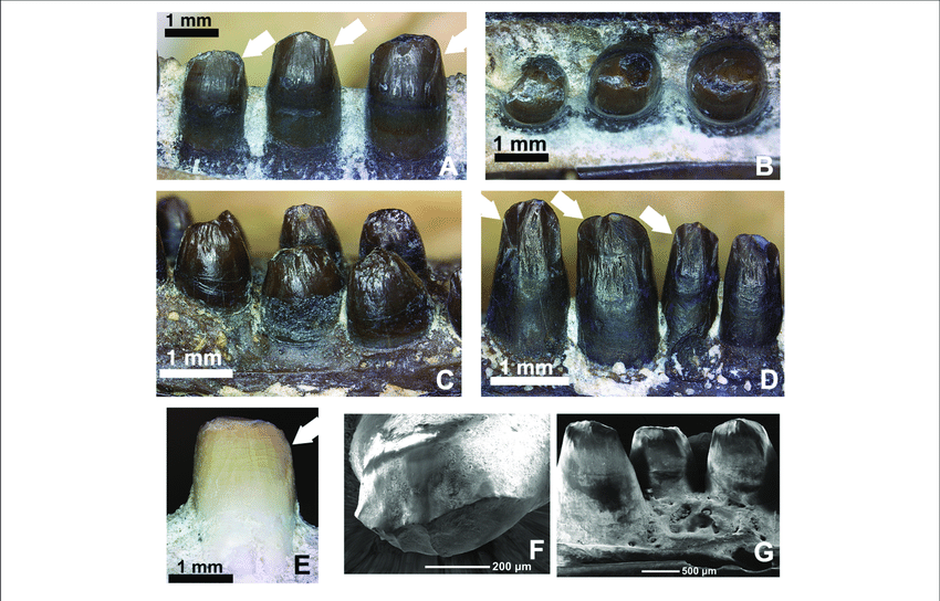 Comparison-of-the-dentition-in-the-mid-dentary-region-of-various-members-of-the-genus.png.6090304acd7db9ed4db71d18da3bab59.png