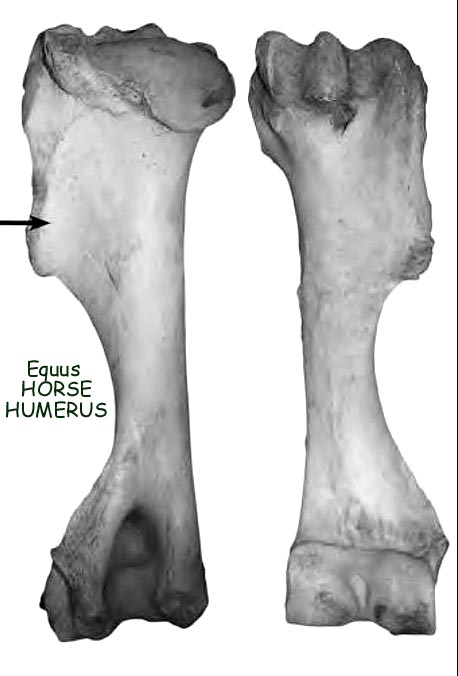 horse_equus_humerus.JPG