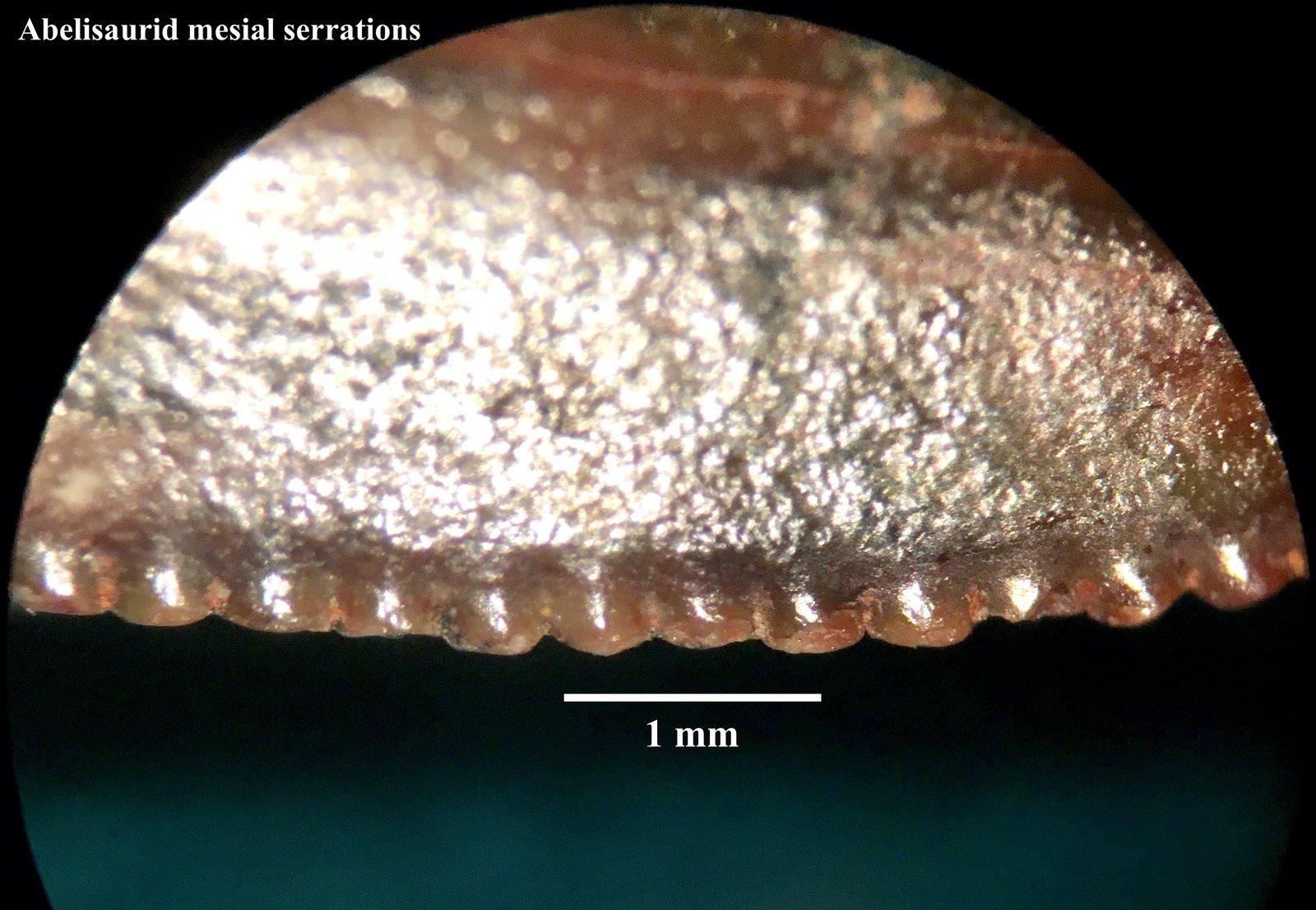 Abelisaurid mesial serrations