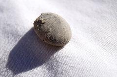 Walnut Fm (?) Echinoid