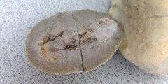 Concretion #16: 4.1 cm Fish Coprolite