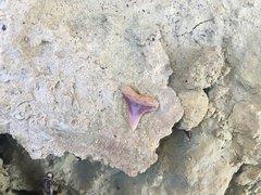 """Shark tooth """"in situ"""""""
