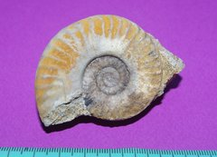 Ammonite Saint-Laon - 1