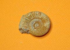 Ammonite Saint-Laon - 11