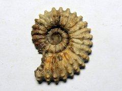Douvilleiceras mammillatum (Schlotheim 1813)