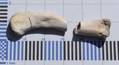 Crocodilian leg bone