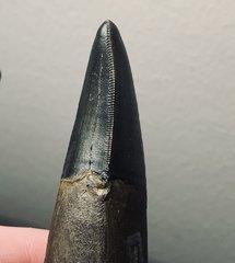 T. rex posterior dentary tooth distal carina