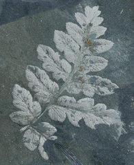 Karinopteris robusta (Kidston) Boersma 1972