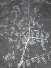 Laveineopteris cf. rarinervis (Bunbury) Cleal et al. 1990