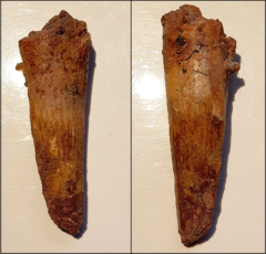 Tooth - Spinosauridae indet.