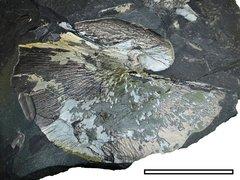 Cyclopteris sp.