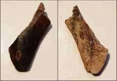 Tooth - Tyrannosauridae indet.