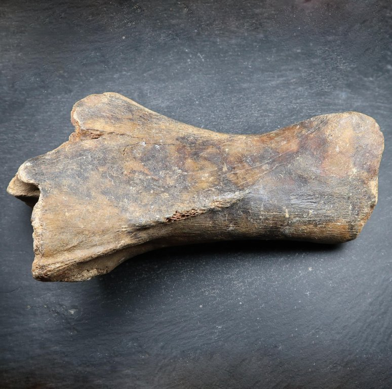 Fossilised mammal bone (5).JPG