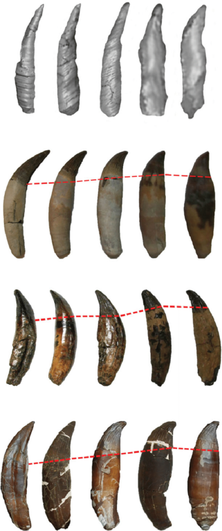 Pliosaurid-teeth-from-different-regions-of-the-jaw-scaled-to-same-height-to-highlight.thumb.png.289d7eb77d8dff3f63b566970516e8a2.png