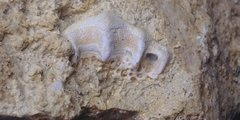 Campodus Sp. Tooth