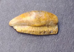 Possibly Orodus sp Tooth