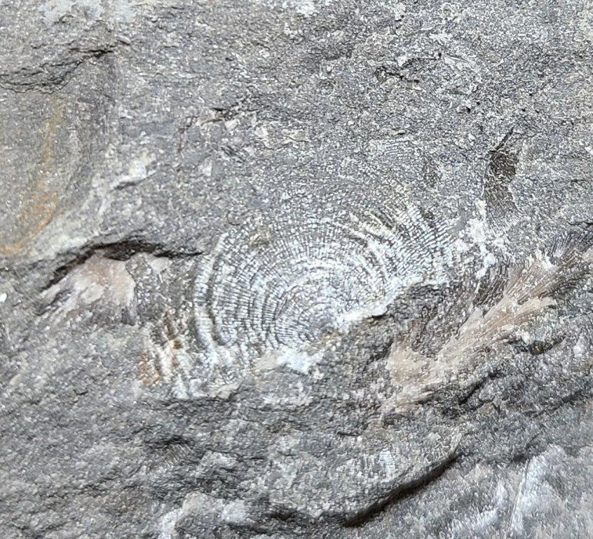 brachiopod(1).jpeg