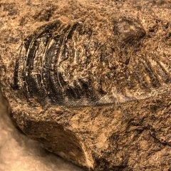 Dalmanitid pygidium from the Coeymans Formation