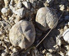 Pliotoxaster comanchei (Clark) & Heteraster (Enallaster) obliquatus (Clark)