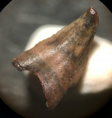 Avisaurus (lingual)
