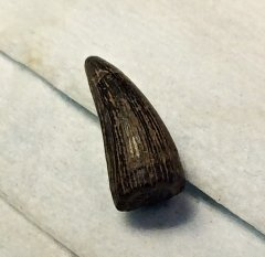 Crocodile Tooth from Ramanessin Brook, N.J.