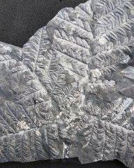 Mariopteris nervosa (Brongniart) Zeiller 1879